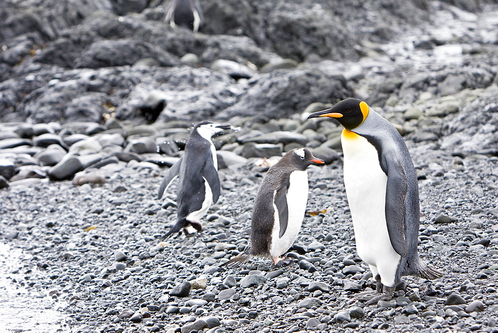 A very rare sighting of a lone adult king penguin (Aptenodytes patagonicus) among breeding and nesting colonies of both gentoo and chinstrap penguins on Barrentos Island in the Aitcho Island Group, South Shetland Islands, Antarctica.