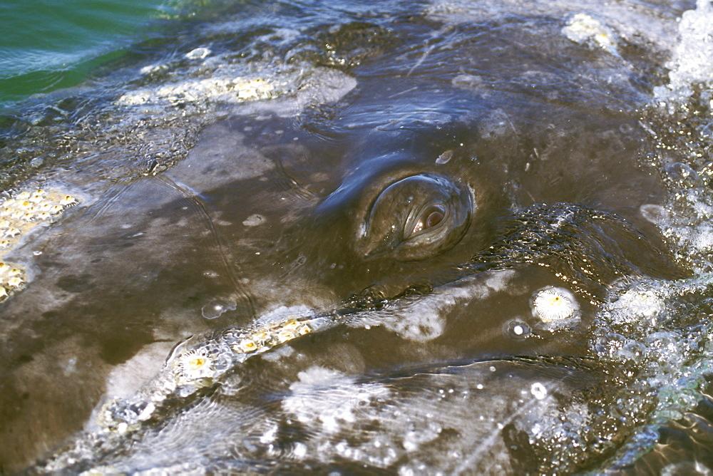 Adult California Gray Whale (Eschrichtius robustus) surfacing (eye detail) in San Ignacio Lagoon, Baja, Mexico.