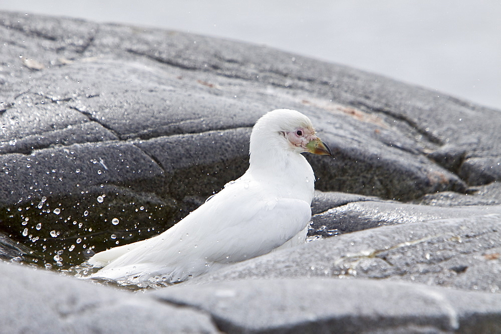 """Adult pale-faced sheathbill (Chionis alba) near the Antarctic Peninsula. This is the only sheathbill on the Antarctic peninsula, to 65 degrees south. It is also known as the snowy sheathbill.  It is usually found on the ground. It is Antarctica's only permanently land-based bird. A Snowy Sheathbill is about 15-16 inches long, with a wingspan of 30-31.5 inches. They are pure white except for their pink warty faces (Chionis alba means """"snow white"""". The Snowy Sheathbill is a scavenger that will eat anything, including any kind of droppings and steals penguin eggs."""