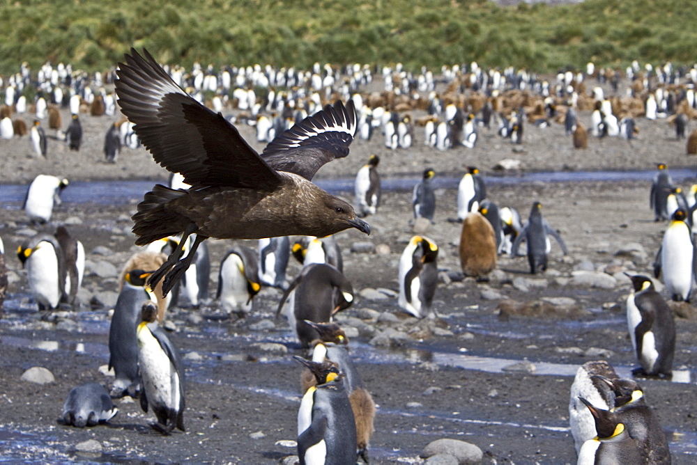 An adult Brown Skua (Catharacta antarctica) in flight over king penguins on South Georgia Island in the Southern Ocean. This skua is often referred to as Antarctic Skua (or vice versa); the taxonomy of Skuas is still a matter of dispute. Other names (probably owing to the high level of hybridization in this species) include Southern Great Skua, Southern Skua or Subantarctic Skua.