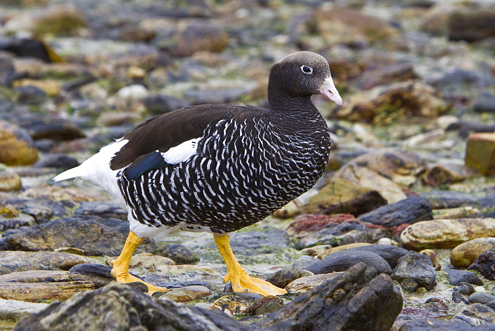 The Kelp Goose (Chloephaga hybrida), is a member of the duck, goose and swan family Anatidae (Spanish: Caranca or Cauquén Marino). It is in the shelduck subfamily Tadorninae. It can be found in the Southern part of South America; in Patagonia, Tierra del Fuego, and the Falkland Islands. Males are a white color, with a black beak, and yellow feet. The females are dark brown, with transverse gray lines on the chest, and yellow feet. Kelp geese generally have clutches of 2-7 eggs. They prefer to hide their eggs in long grass. The eggs hatch about a month later. There are about 15,000 breeding pairs in existence. Kelp geese are noted for only eating kelp and will migrate along the coast of South America in order to find kelp, hence the name 'kelp geese'.