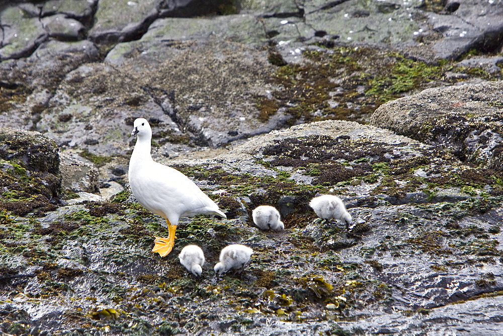 The Kelp Goose (Chloephaga hybrida), is a member of the duck, goose and swan family Anatidae. It is in the shelduck subfamily Tadorninae. It can be found in the Southern part of South America; in Patagonia, Tierra del Fuego, and the Falkland Islands. Males are a white color, with a black beak, and yellow feet. The females are dark brown, with transverse gray lines on the chest, and yellow feet. Kelp geese generally have clutches of 2-7 eggs. They prefer to hide their eggs in long grass. The eggs hatch about a month later.There are about 15,000 breeding pairs in existence. Kelp geese are noted for only eating kelp and will migrate along the coast of South America in order to find kelp, hence the name 'kelp geese'.