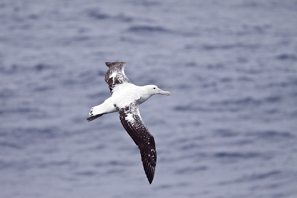 Wandering albatross (Diomedea exulans) on the wing in the Drake Passage between the tip of South America and the Antarctic Peninsula, southern ocean. The Wandering Albatross has the largest wingspan of any living bird, with the average wingspan being 3.1 metres (10.2 ft). The longest-winged examples verified have been about 3.7 m (12 ft), but probably erroneous reports of as much as 5.3 m (17.5 ft) are known. As a result of its wingspan, it is capable of remaining in the air without beating its wings for several hours at a time (travelling 22 metres for every meter of drop). The length of the body is about 1.35 m (4.4 ft) with females being slightly smaller than males, and they weigh typically from 6 to 12 kg (13-26 lb). Immature birds have been recorded weighing as much as 16.1 kg (35 lb) during their first flights. The plumage varies with age, but adults have white bodies with black and white wings. Males have whiter wings than females with just the tips and trailing edges of the wings black. They feed on squid, small fish and on animal refuse that floats on the sea, eating to such excess at times that they are unable to fly and rest helplessly on the water.