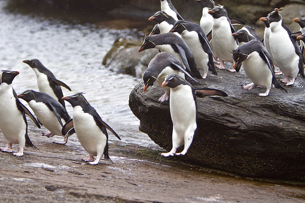 "Adult Southern Rockhopper Penguins (Eudyptes chrysocome chrysocome) in the Falkland Islands. This is the smallest yellow-crested, black-and-white penguin in the genus Eudyptes. It reaches a length of 45-58 cm (18-23 in) and typically weighs 2-3.4 kg (4.4-7.5 lb), although there are records of exceptionally large rockhoppers weighing 5 kg (11 lbs). Their common name refers to the fact that unlike many other penguins which negotiate obstacles by sliding on their bellies or by awkward climbing using their flipper-like wings as aid, Rockhoppers will try to jump over boulders and across cracks. This behavior is by no means unique to this species however - at least the other ""crested"" penguins of the genus Eudyptes hop around rocks too. Southern Rockhopper Penguins have a global population of roughly 1 million pairs, perhaps a bit more. About two-thirds of the global population belongs to E. c. chrysocome which breeds on the Falkland Islands and on islands off Argentina and southern Chile. The Southern Rockhopper Penguin is classified as Vulnerable species by the IUCN."