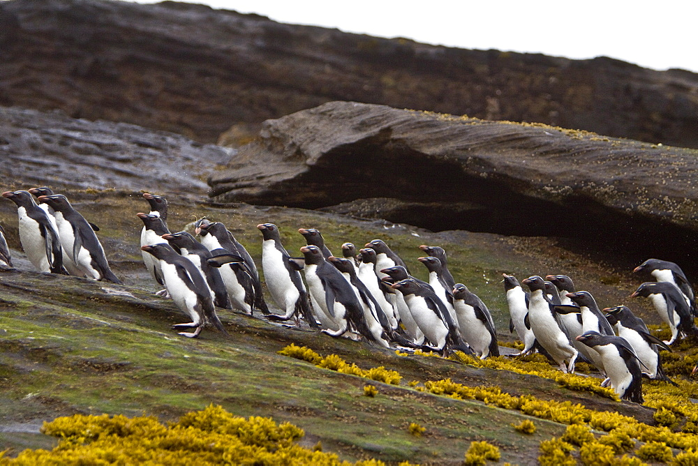 """Adult Southern Rockhopper Penguins (Eudyptes chrysocome chrysocome) in the Falkland Islands. This is the smallest yellow-crested, black-and-white penguin in the genus Eudyptes. It reaches a length of 45-58 cm (18-23 in) and typically weighs 2-3.4 kg (4.4-7.5 lb), although there are records of exceptionally large rockhoppers weighing 5 kg (11 lbs). Their common name refers to the fact that unlike many other penguins which negotiate obstacles by sliding on their bellies or by awkward climbing using their flipper-like wings as aid, Rockhoppers will try to jump over boulders and across cracks. This behavior is by no means unique to this species however - at least the other """"crested"""" penguins of the genus Eudyptes hop around rocks too. Southern Rockhopper Penguins have a global population of roughly 1 million pairs, perhaps a bit more. About two-thirds of the global population belongs to E. c. chrysocome which breeds on the Falkland Islands and on islands off Argentina and southern Chile. The Southern Rockhopper Penguin is classified as Vulnerable species by the IUCN."""
