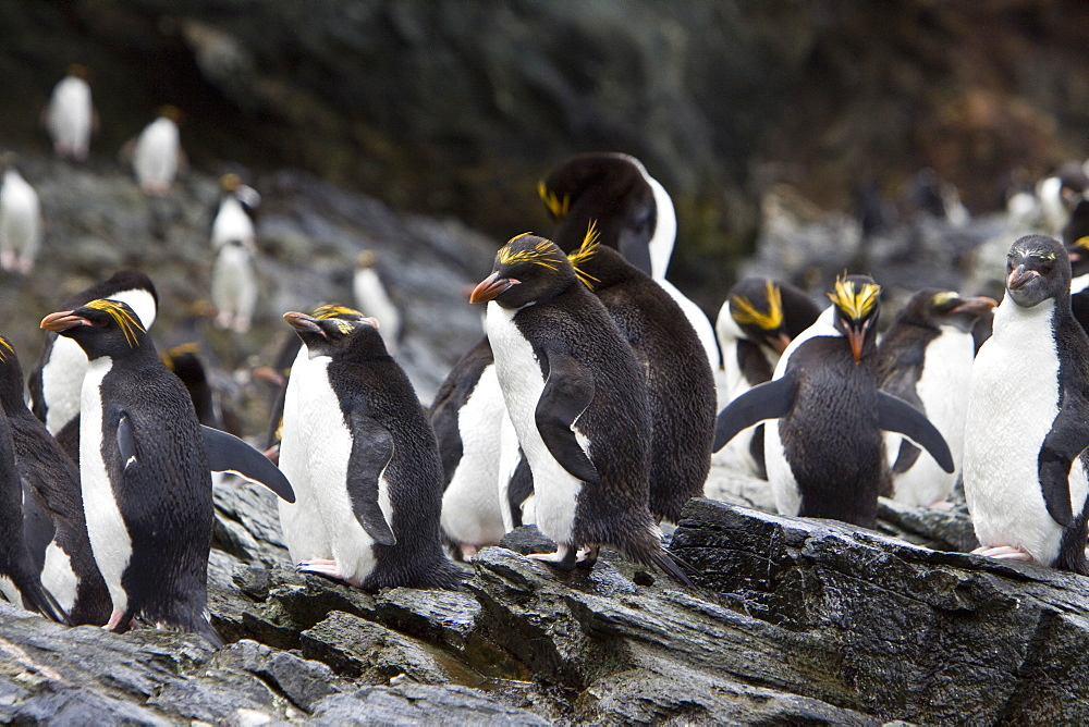 Macaroni Penguins (Eudyptes chrysolophus) on South Georgia Island in the Southern Ocean. There are about 18 million Macaroni Penguins in existence, and the number is decreasing. They are distributed from the sub-Antarctic to the Antarctic Peninsula. Adult Macaroni Penguins average about 12 pounds (5.5 kilograms) in weight and average 28 inches (71 centimeters) in length. Their diet consists of a variety of crustaceans, mainly krill and squid. Although the number of Macaroni Penguins is currently high, the decline of the overall population in the last 30 years has resulted in the classification of the species as globally Vulnerable by the IUCN Red List of Threatened Species.