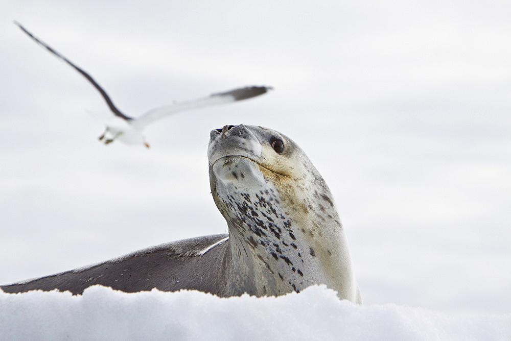 The Leopard seal (Hydrurga leptonyx) is the second largest species of seal in the Antarctic (after the Southern Elephant Seal), and is near the top of the Antarctic food chain. It can live twenty-six years, possibly more. Orcas are the only natural predators of leopard seals. Females are generally larger than the males. The bulls are generally 2.5 m (8.2 ft) to 3.2 m (10.5 ft) and weigh between 200 kg (441 lb) and 453.5 kg (1,000 lb), while cows are between 2.4 meters (7.9 feet) and 3.4 meters (11.2 feet) in length and weigh between 225 kg (496 lb) and 591 kg (1,303 lb). In 2003, a leopard seal dragged a snorkeling biologist underwater to her death in what was identified as the first known human fatality from a leopard seal. However, numerous examples of aggressive behavior, stalking, and attacks on humans had been previously documented. The leopard seal has also been known to snap at people's feet through holes in the ice.