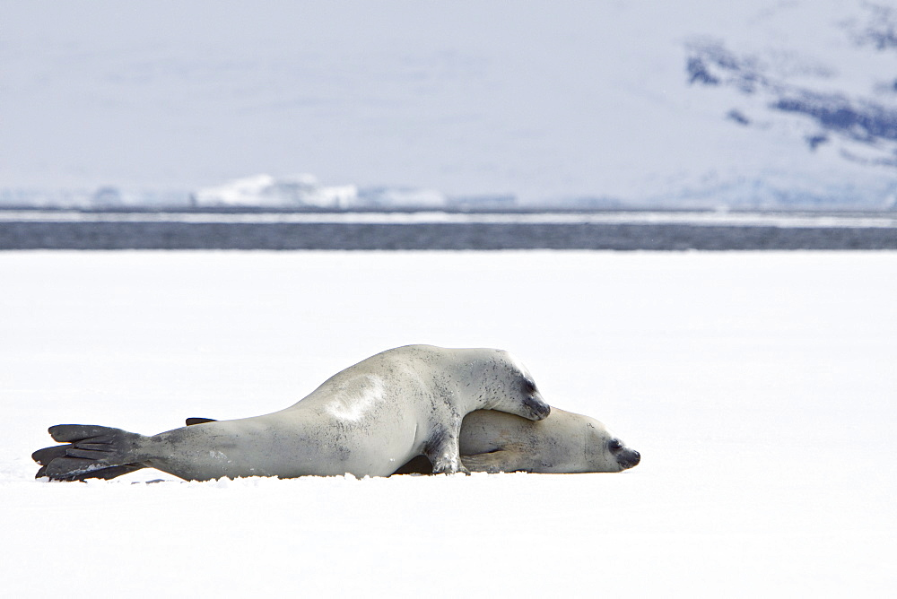 "Crabeater seals (Lobodon carcinophaga) swimming along or hauled out on fast ice floe in Bourgeois Fjord (67840'S 6785'W) near the Antarctic Peninsula. The Crabeater Seal, at a population of 25 to 50 million is perhaps the second most numerous large species of mammals on Earth, after humans. More than one in every two seals in the world is a Crabeater Seal and the population biomass of Crabeaters is about four times that of all other pinnipeds put together. It is also one of the fastest seals; a crabeater seal can swim 16 mph. Males grow to about 2.2 m to about 2.6 m (7.26 to 8.6 ft) and weigh roughly between 200 and 300 kg (440 to 660 lbs). Females grow up to 3.6 m (142 in) in length and 500 lb (230 kg) in weight. Pups are born about 1.2 metres in length and weigh between 20 and 30 kilograms. While nursing, pups grow at a rate of about 4.2 kilograms a day. They are weaned after 2-3 weeks. Despite its name, its diet does not include crabs. Instead, a crabeater seal's unusual multilobed teeth enable this species to sieve krill from the water. Its dentition looks like a perfect strainer, but how it operates in detail is still unknown. 98% of the Crabeater Seal's food consists of Antarctic krill, Euphausia superba. The seals consume over 80 million tons of krill each year. Explorer and naturalist E.A. Wilson, who accompanied British explorer Robert Falcon Scott on the 1910-1913 Terra Nova Expedition to the South Pole, recorded that the Crabeater seal will, when close to death, leave the pack and travel far up glaciers to die. He observed Crabeater carcasses on a number of occasions, ""thirty miles from the seashore and 3,000 feet (910 m) above sea-level""."