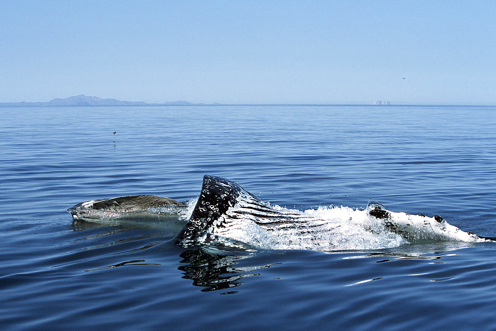 Sub-adult Humpback Whale, Megaptera novaeangliae, surface lunge-feeding on krill in northern Gulf of California, Mexico
