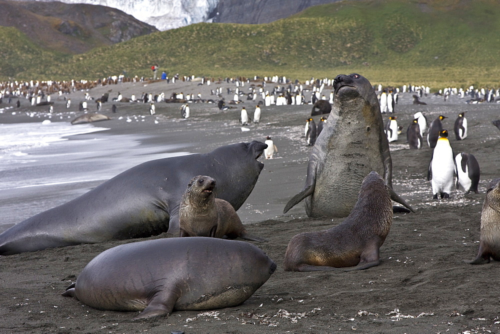Young Antarctic fur seals surrounded by southern elephant seals (Mirounga leonina) on the beach at South Georgia in the Southern Ocean. There is much mock-fighting among males on the beach (breeding season is actually over and the truly large bulls have left to forage). The Southern Elephant Seal is one of two species of elephant seal. It is not only the most massive pinniped but also the largest member of the order Carnivora to ever live. The seal gets its name from its great size and the large proboscis of the adult males, which is used in making extraordinarily loud roaring noises, especially during the mating season. There is a great sexual dimorphism in size, with the males much larger than the females. While the females average about 680 kg (1,500 lb) and 3 m (10 feet) long, the bulls average around 3636 kg (8,000 lb) and 4.2 m (13 feet) long. The record bull, shot in Possession Bay, South Georgia in 1913, was 5,000 kg (11,000 lb) and 6.9 m (22.5 feet) long. The world's population is approximately 650,000 animals. The largest sub-population is in the South Atlantic with more than 400,000 individuals including approximately 350,000 seals in South Georgia, the other breeding colonies located on the Falkland Islands, Antarctica, and Valdes Peninsula in Argentina (the only continental breeding population). Thanks to satellite tracking, it was found that the animals spend very little time on the surface, usually a few minutes for oxygen. They dive repeatedly, each time for more than twenty minutes, to hunt their prey; squid and fish, between 400 and 1000 m deep. The diving records were recorded in nearly two hours for the duration and more than 1400 m in depth.
