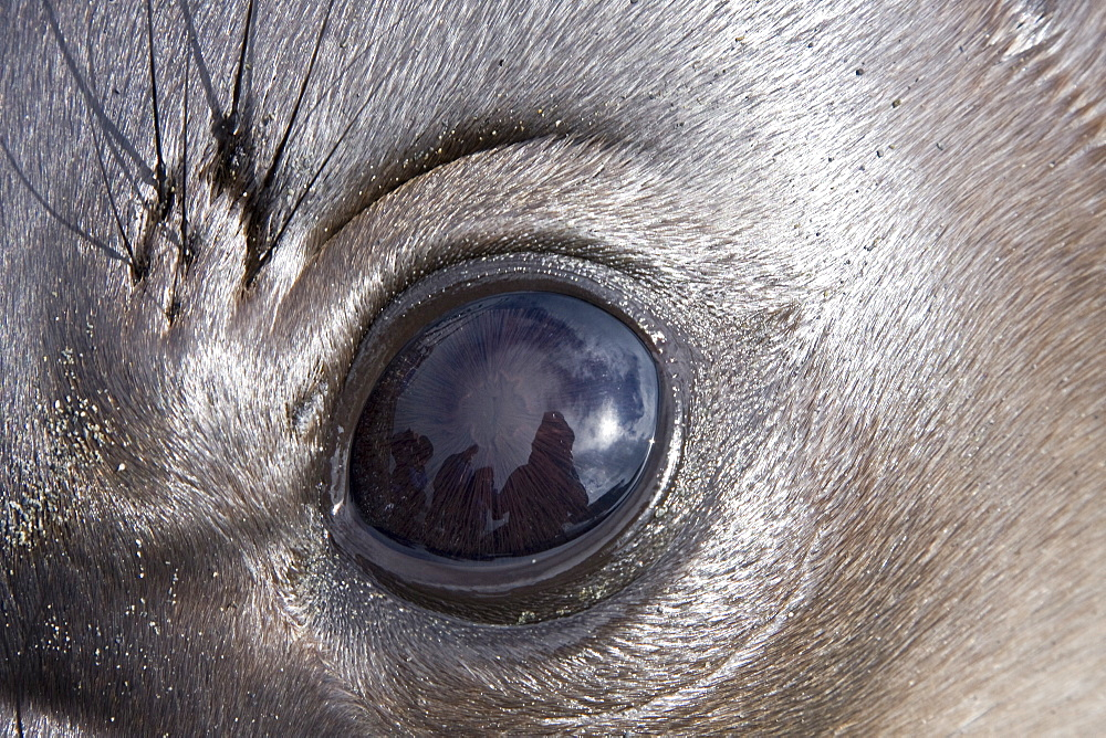 Young southern elephant seal (Mirounga leonina) eye detail on the beach at South Georgia in the Southern Ocean. There is much mock-fighting among males on the beach (breeding season is actually over and the truly large bulls have left to forage). The Southern Elephant Seal is one of two species of elephant seal. It is not only the most massive pinniped but also the largest member of the order Carnivora to ever live. The seal gets its name from its great size and the large proboscis of the adult males, which is used in making extraordinarily loud roaring noises, especially during the mating season. There is a great sexual dimorphism in size, with the males much larger than the females. While the females average about 680 kg (1,500 lb) and 3 m (10 feet) long, the bulls average around 3636 kg (8,000 lb) and 4.2 m (13 feet) long. The record bull, shot in Possession Bay, South Georgia in 1913, was 5,000 kg (11,000 lb) and 6.9 m (22.5 feet) long. The world's population is approximately 650,000 animals. The largest sub-population is in the South Atlantic with more than 400,000 individuals including approximately 350,000 seals in South Georgia, the other breeding colonies located on the Falkland Islands, Antarctica, and Valdes Peninsula in Argentina (the only continental breeding population). Thanks to satellite tracking, it was found that the animals spend very little time on the surface, usually a few minutes for oxygen. They dive repeatedly, each time for more than twenty minutes, to hunt their prey; squid and fish, between 400 and 1000 m deep. The diving records were recorded in nearly two hours for the duration and more than 1400 m in depth.