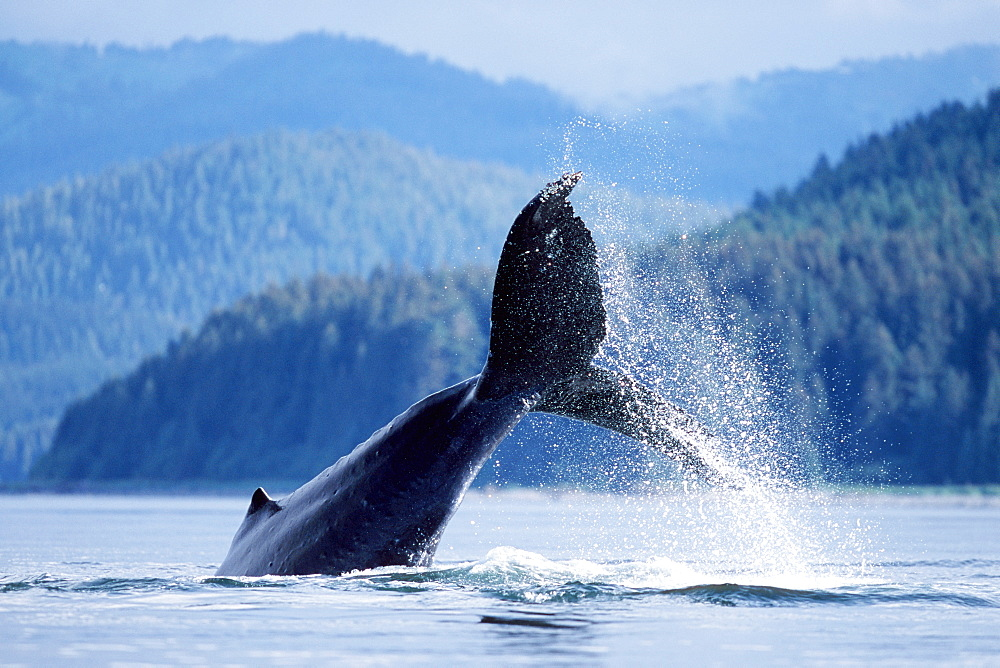 Adult humpback whale tail-throw in Icy Strait, Alaska, USA.