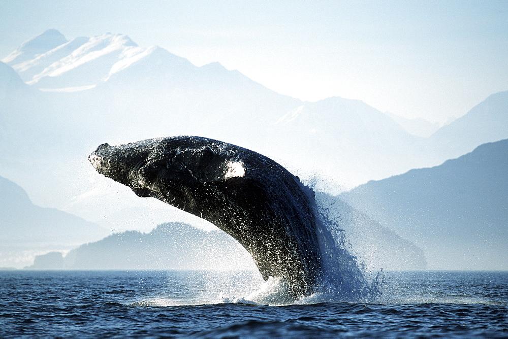 Adult Pacific Humpback Whale, Megaptera novaeangliae, breaching in Cross Sound, Southeast Alaska - 979-472