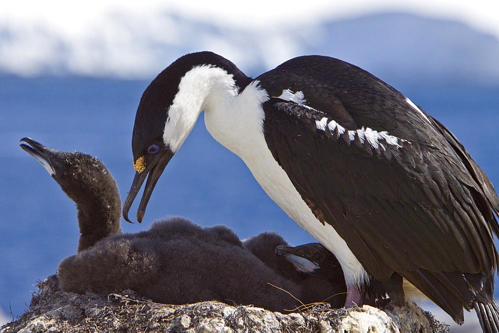Adult Antarctic Shag, (Phalacrocorax (atriceps) bransfieldensis) from breeding colony on the Antarctic Peninsula