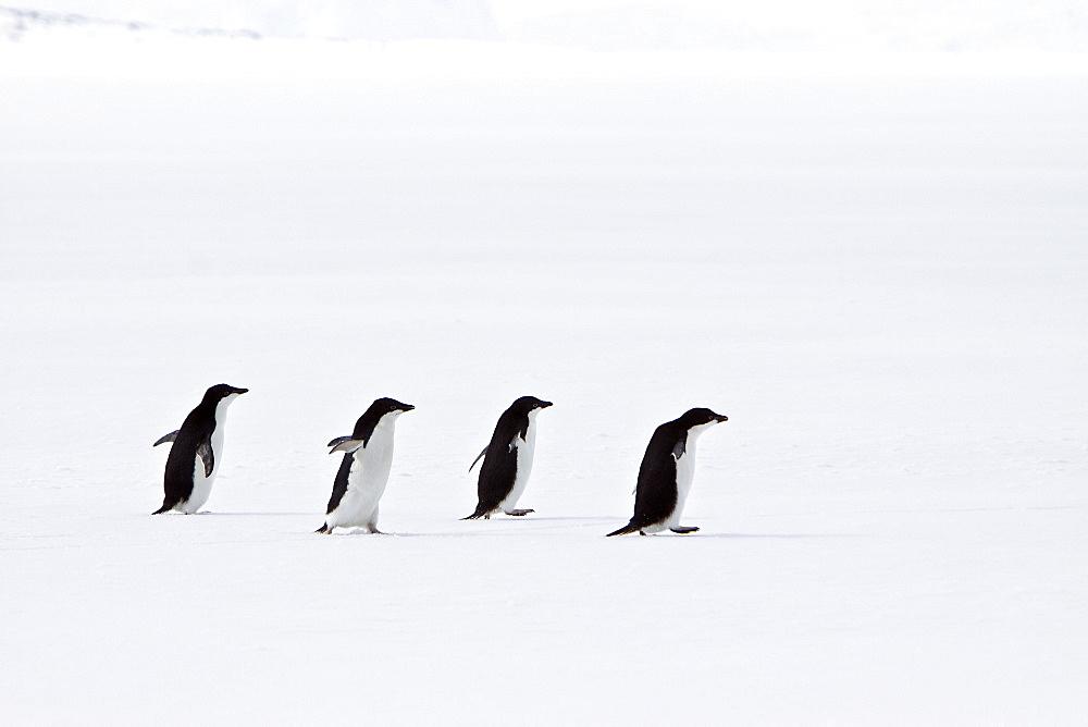 Adelie penguin (Pygoscelis adeliae) near the Antarctic Peninsula, Antarctica.