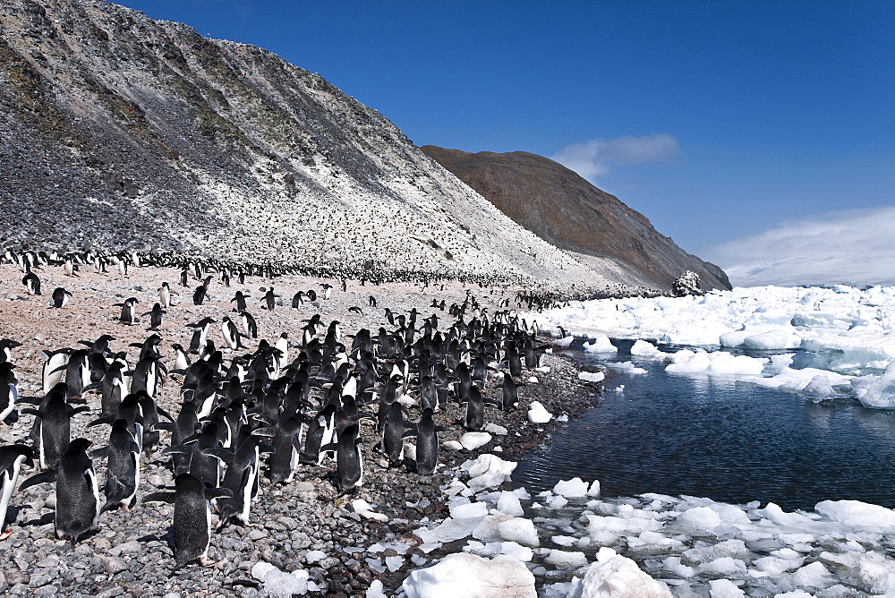Adelie penguin (Pygoscelis adeliae) near the Antarctic Peninsula, Antarctica.