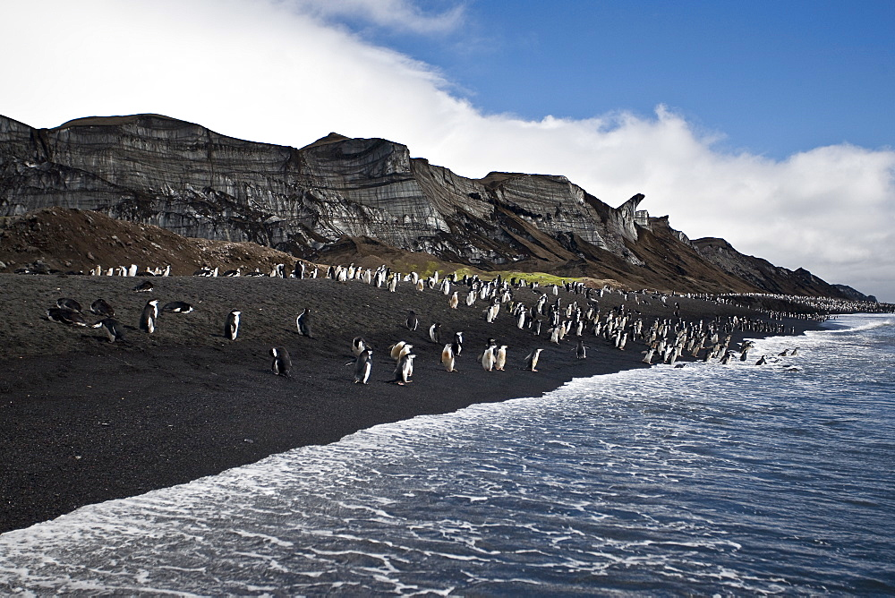 """Chinstrap penguin (Pygoscelis antarctica) colony on the Antarctic Peninsula. There are an estimated 2 million breeding pairs of chinstrap penguins in the Antarctic peninsula region alone, perhaps as many as 7.5 million breeding pairs in all of Antarctica. Their name derives from the narrow black band under their heads which makes it appear as if they are wearing black helmets, making them one of the most easily identified types of penguin. Other names for them are """"Ringed Penguins"""", """"Bearded Penguins"""", and """"Stonecracker Penguins"""" due to their harsh call. They grow to 68 cm (27 in). The average adult weight of a Chinstrap Penguin is 4.5 kg (10 lbs). Weight can range from 3 to 6 kg (6.6-13.2 lbs), with males being slightly larger and weight varying based on where the penguin is in the breeding cycle. Their diet consists of krill, shrimp, and fish. On land they build circular nests from stones, and lay two eggs, which are incubated by both the male and the female for shifts of five to ten days. They can also breed on icebergs, though they prefer non-icy conditions. The chicks hatch after about 35 days, and have fluffy gray backs and white fronts. The chicks stay in the nest for 20?30 days before they go to join a creche. At around 50?60 days old, they moult, gaining their adult plumage and go to sea. The Chinstrap Penguin was first described by German naturalist Forster in 1781. Its specific epithet was often seen as antarctica, however a 2002 review determined the genus Pygoscelis was masculine, and hence the correct binomial name is Pygoscelis antarcticus."""