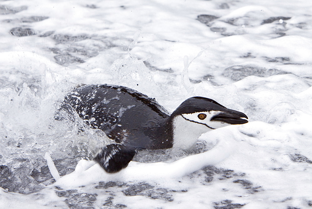 Chinstrap penguin (Pygoscelis antarctica) colony on the Antarctic Peninsula. There are an estimated 2 million breeding pairs of chinstrap penguins in the Antarctic peninsula region alone, perhaps as many as 7.5 million breeding pairs in all of Antarctica.
