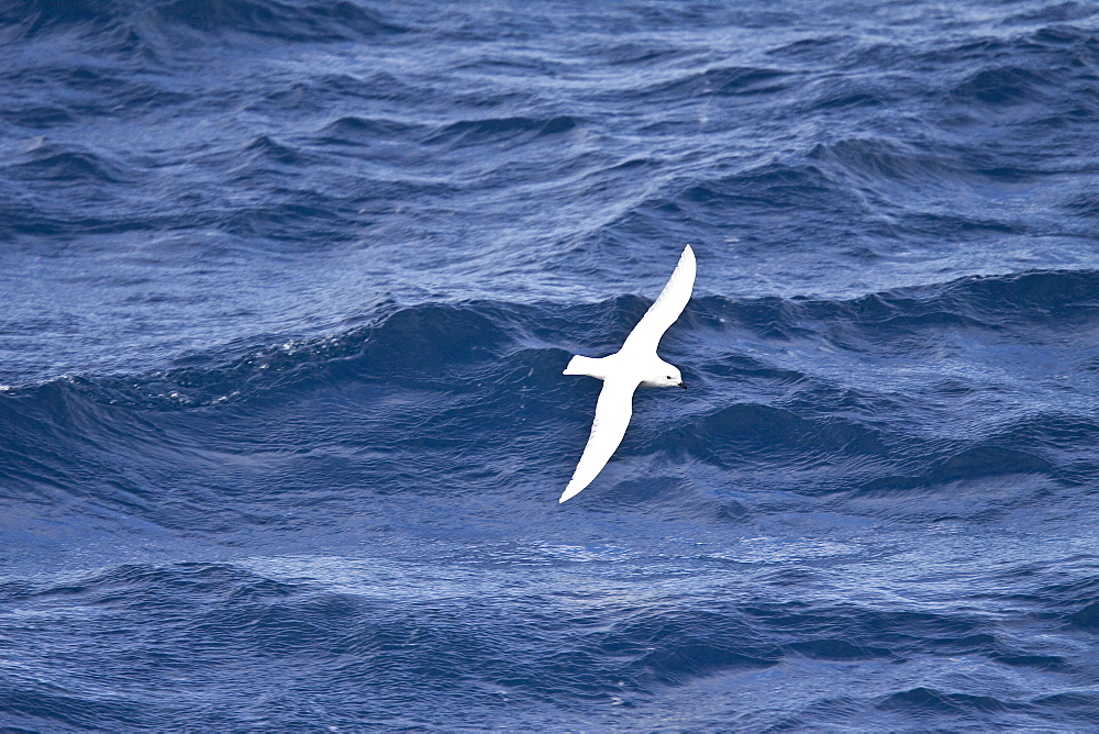 Adult Snow Petrel (Pagodroma nivea) on the wing in and around the Antarctic peninsula. This is a small, pure white fulmarine petrel with black underdown, coal-black eyes, small black bill and bluish gray feet. Body length is 36 to 41 centimeters (14?16 in) and the wingspan is 76 to 79 centimeters. It is one of only three birds that breed exclusively in Antarctica and has been seen at the South Pole. It has the most southernly breeding distribution of any bird. The snow petrel was first named by Georg Forster, during Captain Cook's voyages in 1777 as Procellaria nivea. Like many petrels these birds squirt waxy, yellowish stomach oil at nest intruders. This oil stinks of fish and is extremely difficult to remove. They are known to live 14 to 20 years.
