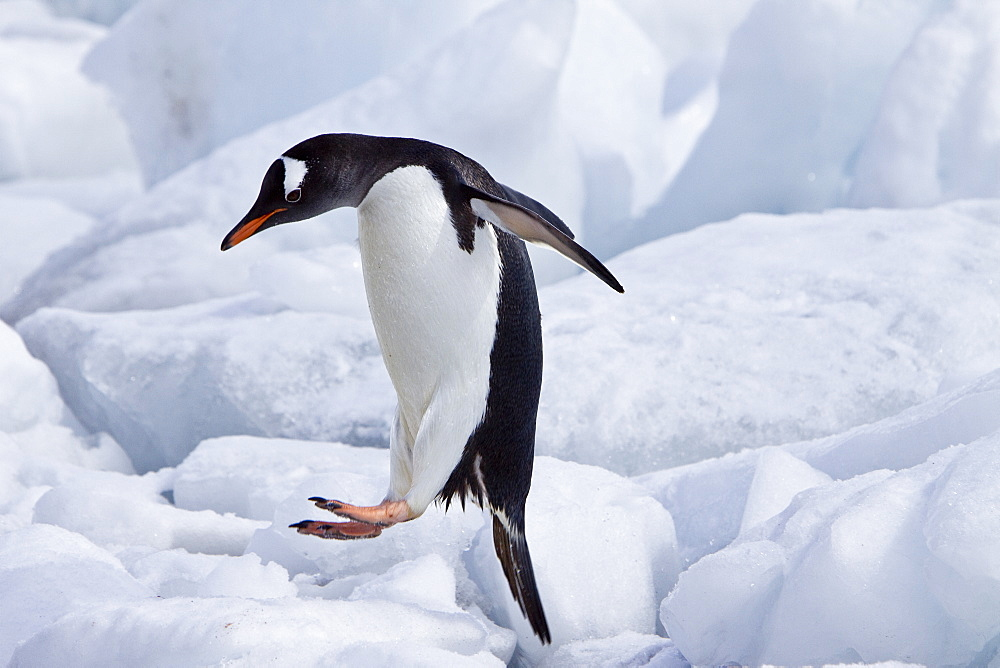 Gentoo penguins (Pygoscelis papua) in Antarctica. The Gentoo Penguin is one of three species in the genus Pygoscelis. It is the third largest of all penguins worldwide, with adult Gentoos reach a height of 51 to 90 cm (20-36 in).There are an estimated 80,000 breeding gentoo penguin pairs in the Antarctic peninsula area with a total population estimate of around 314,000 breeding pairs in all of Antarctica. Males have a maximum weight of about 8.5 kg (18.8 lbs) just before moulting, and a minimum weight of about 4.9 kg (10.8 lbs) just before mating. For females the maximum weight is 8.2 kg (18 lbs) just before moulting, but their weight drops to as little as 4.5 kg (10 lbs) when guarding the chicks in the nest. Birds from the north are on average 700 g (1.5 lbs) and 10 cm (4 in) taller than southern birds. They are the fastest underwater swimming penguins, reaching speeds of 36 km/h. Gentoo Penguins are listed as Near Threatened on the IUCN Red List.
