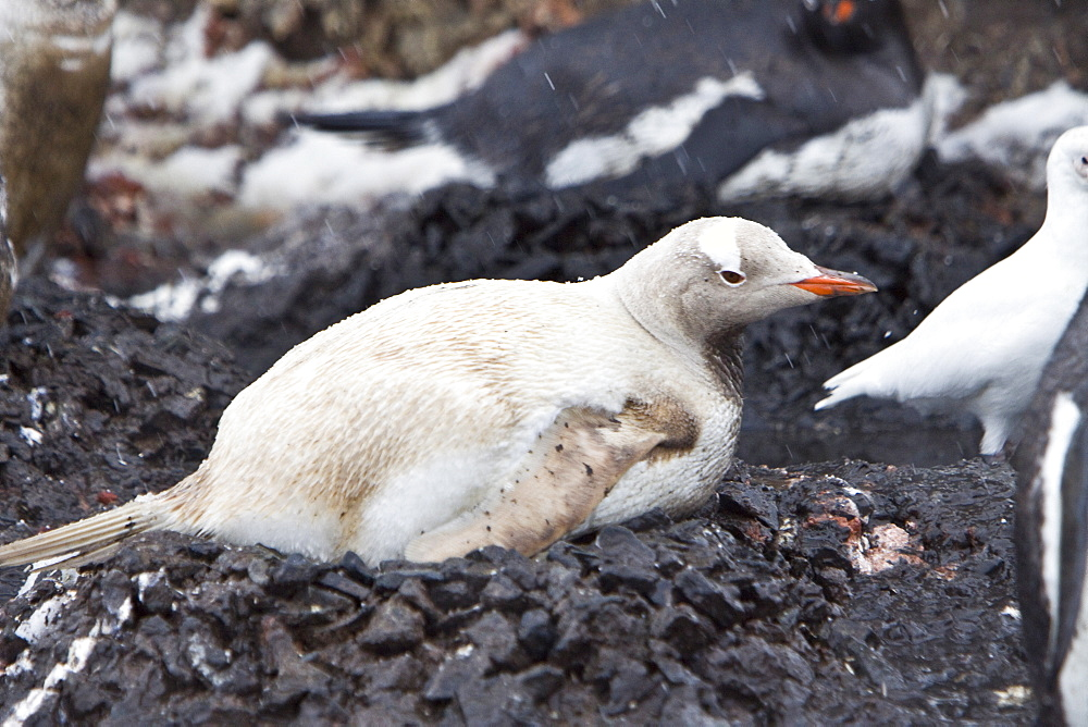 An adult Leucistic Gentoo penguin (Pygoscelis papua) nesting and incubating two eggs at Gabriel Gonzales Videla Research Station, Antarctica. Leucism is a condition characterized by reduced pigmentation in animals. Unlike albinism, it is caused by a reduction in all types of skin pigment, not just melanin. A further difference between albinism and leucism is in eye colour. Due to the lack of melanin production in both the retinal pigmented epithelium (RPE) and iris, albinos typically have red eyes due to the underlying blood vessels showing through. In contrast, leucistic animals have normally coloured eyes.The Gentoo Penguin is one of three species in the genus Pygoscelis. It is the third largest of all penguins worldwide, with adult Gentoos reach a height of 51 to 90 cm (20-36 in).There are an estimated 80,000 breeding gentoo penguin pairs in the Antarctic peninsula area with a total population estimate of around 314,000 breeding pairs in all of Antarctica. Males have a maximum weight of about 8.5 kg (18.8 lbs) just before moulting, and a minimum weight of about 4.9 kg (10.8 lbs) just before mating. For females the maximum weight is 8.2 kg (18 lbs) just before moulting, but their weight drops to as little as 4.5 kg (10 lbs) when guarding the chicks in the nest. Birds from the north are on average 700 g (1.5 lbs) and 10 cm (4 in) taller than southern birds. They are the fastest underwater swimming penguins, reaching speeds of 36 km/h. Gentoo Penguins are listed as Near Threatened on the IUCN Red List.