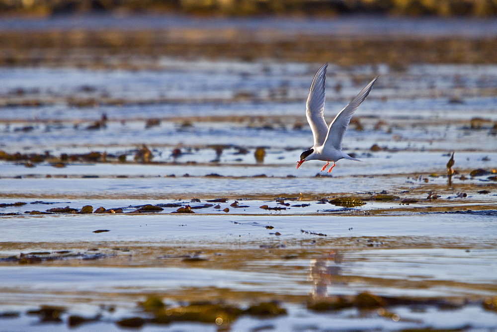 Adult South American Tern (Sterna hirundinacea) near New Island in the Falkland Islands. This is a species of tern in the Sternidae family. It is found in Argentina, Brazil, Chile, Ecuador, the Falkland Islands, Peru, and Uruguay. Its natural habitat is s