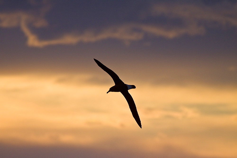Adult Grey-headed Albatross, (Thalassarche chrysostoma), also known as the Grey-headed Mollymawk, on the wing at sunrise in Crystal Sound, Antarctica, Southern Ocean. This albatross has a circumpolar distribution, nesting on isolated islands in the Southern Ocean and feeding at high latitudes, further south than any of the other mollymawks. Grey-headed Albatrosses nest in colonies on several islands in the Southern Ocean, with large colonies on South Georgia in the South Atlantic. A single egg is laid in a large nest, and incubated for 72 days. Studies in South Georgia's Bird Island have shown that the growing chick is fed 616g of food every 1.2 days, with the chick increasing in weight to around 4900 g. Chicks then tend to lose weight before fledging, which happens after 141 days. Chick will generally not return to the colony for 6-7 years after fledging, and will not breed for the first time until several years after that. If a pair of has managed to successfully raise a chick it will not breed in the following year, taking the year off. During this time spent away from the colony they can cover great distances, often circling the globe several times