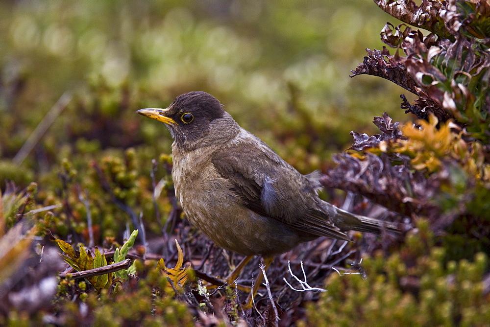 The Falkland Thrush (Turdus Falcklandii), medium sized thrush from southern South America - 979-5002