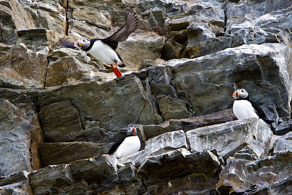 Adult puffins (Fratercula arctica) on breeding cliff off the northwest side of Spitsbergen in the Svalbard Archipelago, Norway