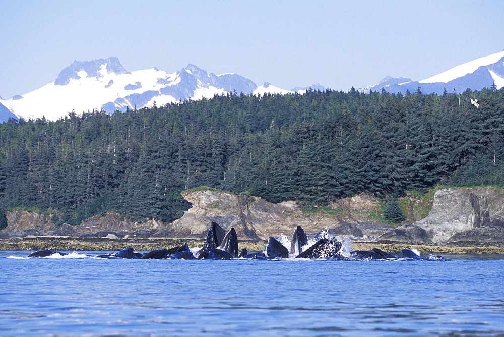 "Humpback Whales (Megaptera novaeangliae) cooperatively ""bubble-net"" feeding in Lynn Canal, Southeast Alaska, USA."