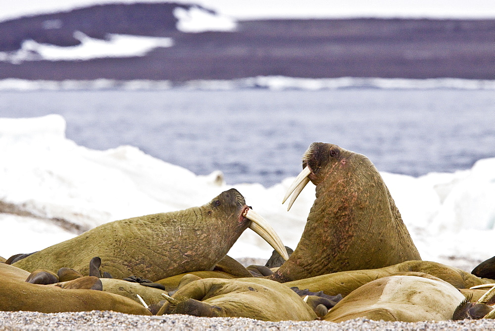 Adult male walrus (Odobenus rosmarus rosmarus) at Torellneset, a point on Nordaustlandet Island in the Hinlopenstretet in the Svalbard Archipelago in the Barents Sea, Norway. While isolated Atlantic males can weigh as much as 4,000 lb, most weigh between 1,500 and 3,500 lb. Females weigh about two thirds as much as males. The most prominent physical feature of the walrus is its long tusks, actually elongated canines, which are present in both sexes and can reach a length of over 3 ft and weigh up to 12 lb.