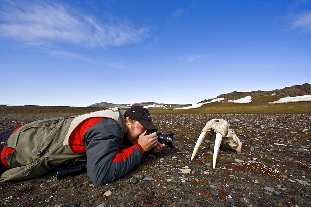 National Geographic Photographer Ralph Lee Hopkins with a walrus skull (Odobenus rosmarus rosmarus) on the tundra off Freemansundet in the Svalbard Archipelago in the Barents Sea, Norway. While isolated Atlantic males can weigh as much as 4,000 lb, most weigh between 1,500 and 3,500 lb. Females weigh about two thirds as much as males. The most prominent physical feature of the walrus is its long tusks, actually elongated canines, which are present in both sexes and can reach a length of over 3 ft and weigh up to 12 lb. No model release for this photo.
