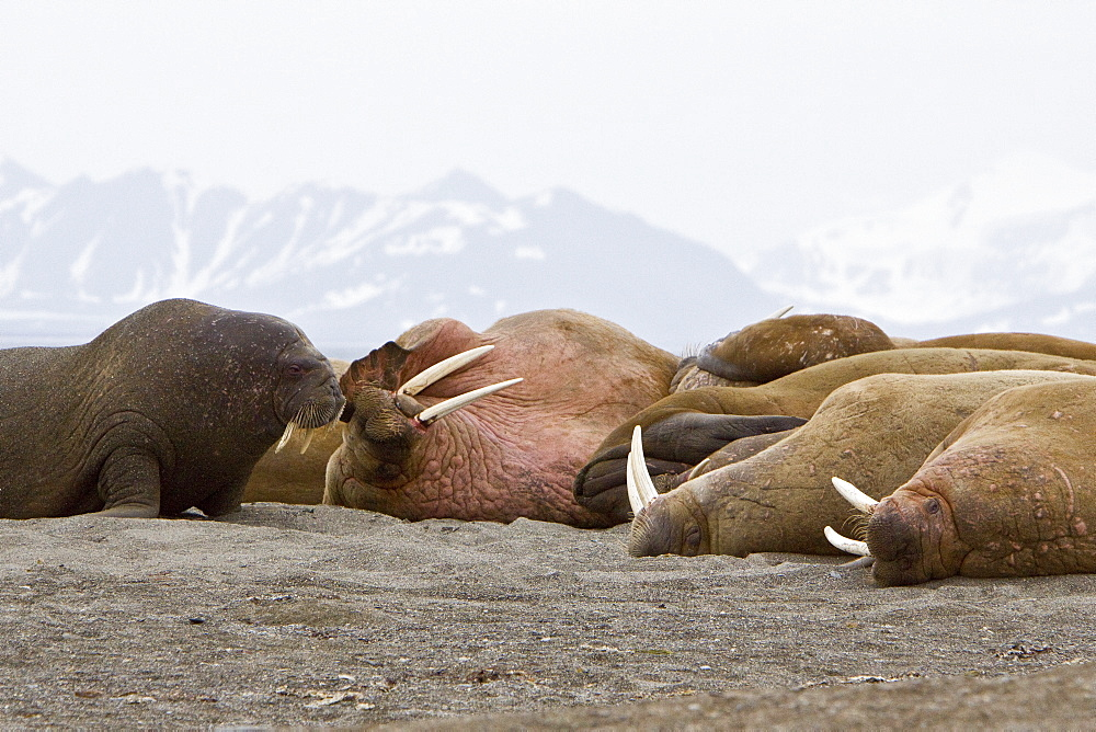 Adult male walrus (Odobenus rosmarus rosmarus) hauled out on the beach at Poolepynten in Prins Karls Forland in the Svalbard Archipelago in the Barents Sea, Norway. While isolated Atlantic males can weigh as much as 4,000 lb, most weigh between 1,500 and 3,500 lb. Females weigh about two thirds as much as males. The most prominent physical feature of the walrus is its long tusks, actually elongated canines, which are present in both sexes and can reach a length of over 3 ft and weigh up to 12 lb.