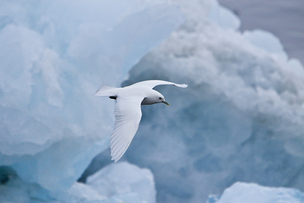 An adult ivory gull (Pagophila eburnea) near Monaco Glacier on the north side of Spitsbergen in the Svalbard Archipelago in the Barents Sea, Norway. this is a small gull, the only species in its genus. It breeds in the high arctic and has a circumpolar distribution through Greenland, northernmost North America, and Eurasia. Ivory Gulls breeds on Arctic coasts and cliffs, laying one to three olive eggs in a ground nest lined with moss, lichens, or seaweed. It often follows polar bears and other predators to feed on the remains of their kills.