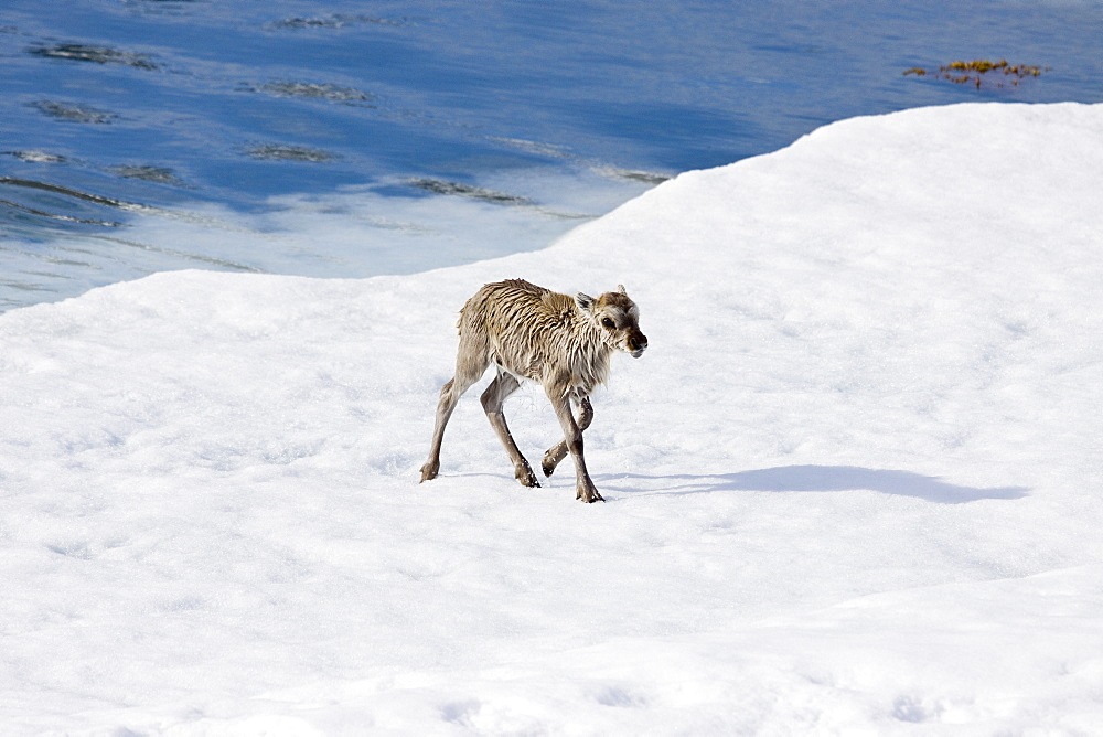 A stranded Svalbard reindeer fawn (Rangifer tarandus platyrhynchus) on first-year ice floe at Monaco Glacier in Wood Fjord on Spitsbergen Island in the Svalbard Archipelago, Norway. The Svalbard reindeer is a small subspecies of Rangifer tarandus. Males are significantly larger than females and have larger antlers. Males weigh approximately 65 kg in spring and 90 kg in autumn, whereas females weigh approximately 53 kg in spring and 70 kg in autumn. The length of males is 160 cm and females are about 150 cm long. Svalbard reindeer are short-legged and have relatively short, round heads.