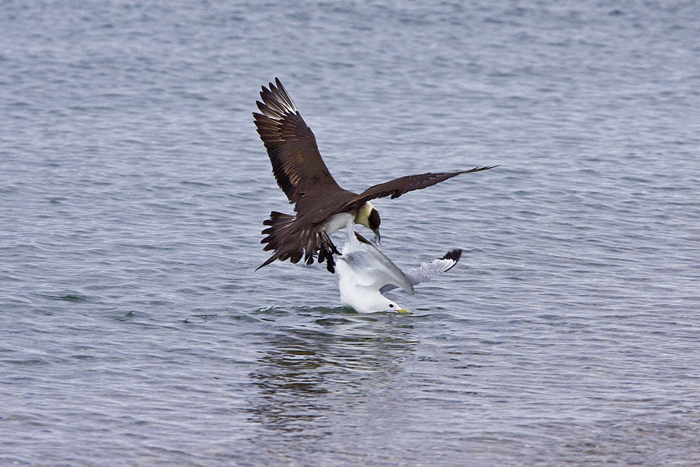 Adult Arctic Skua (Stercorarius parasiticus) attacking a black-legged kittiwake to force it to drop food in the Svalbard Archipelago. This skua is also known as the Parasitic Jaeger in North America, and referred to as the Parasitic Skua in some publications. It is a seabird in the skua family Stercorariidae. This bird will feed on rodents, small birds and insects but also robs gulls and terns of their catches.