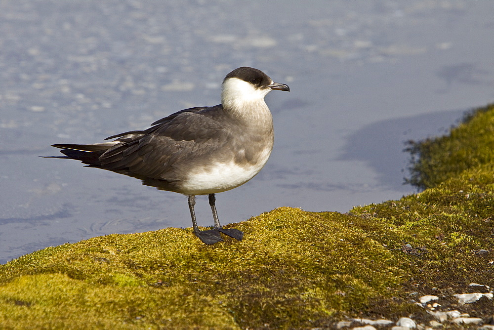 Adult Arctic Skua (Stercorarius parasiticus) in the Svalbard Archipelago. This skua is also known as the Parasitic Jaeger in North America, and referred to as the Parasitic Skua in some publications. It is a seabird in the skua family Stercorariidae. This bird will feed on rodents, small birds and insects but also robs gulls and terns of their catches.