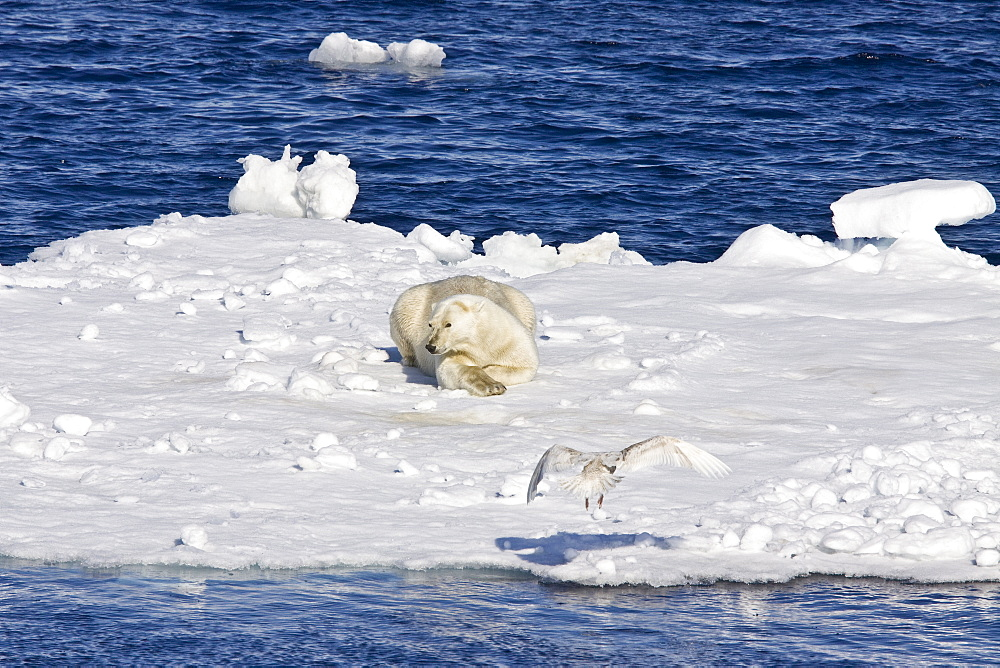 """Adult polar bear (Ursus maritimus) resting on multi-year ice floes in the Barents Sea off the eastern coast of Edge¯ya (Edge Island) in the Svalbard Archipelago, Norway. An adult male weighs around 400-680 kg (880-1,500 lb) while an adult female is about half that size. The IUCN now lists global warming as the most significant threat to the polar bear, primarily because the melting of its sea ice habitat reduces its ability to find sufficient food. The IUCN states, """"If climatic trends continue polar bears may become extirpated from most of their range within 100 years."""" On May 14, 2008, the United States Department of the Interior listed the polar bear as a threatened species under the Endangered Species Act."""