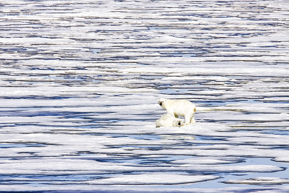 """A pair of polar bears (Ursus maritimus) on multi-year ice floes (these two are probably recently weaned siblings) in the Barents Sea off the eastern coast of Edge¯ya (Edge Island) in the Svalbard Archipelago, Norway. An adult male weighs around 400-680 kg (880-1,500 lb) while an adult female is about half that size. The IUCN now lists global warming as the most significant threat to the polar bear, primarily because the melting of its sea ice habitat reduces its ability to find sufficient food. The IUCN states, """"If climatic trends continue polar bears may become extirpated from most of their range within 100 years."""" On May 14, 2008, the United States Department of the Interior listed the polar bear as a threatened species under the Endangered Species Act."""
