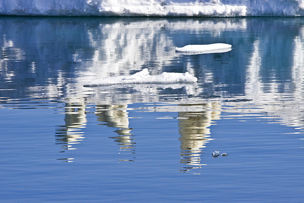 """Mother polar bear (Ursus maritimus) with two coy (cubs-of-year) on multi-year ice floes in the Barents Sea off the eastern side of Heleysundet in the Svalbard Archipelago, Norway. An adult male weighs around 400?680 kg (880?1,500 lb) while an adult female is about half that size. The IUCN now lists global warming as the most significant threat to the polar bear, primarily because the melting of its sea ice habitat reduces its ability to find sufficient food. The IUCN states, """"If climatic trends continue polar bears may become extirpated from most of their range within 100 years."""" On May 14, 2008, the United States Department of the Interior listed the polar bear as a threatened species under the Endangered Species Act."""