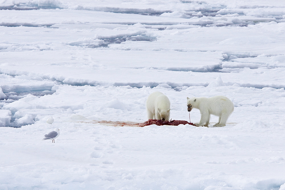 "A mother polar bear (Ursus maritimus) waits nearby while her two coy (cubs-of-year) feast on a seal carcass on fast ice in the Barents Sea off the eastern coast of K?kenthal¯ya Island in the Svalbard Archipelago, Norway. An adult male weighs around 400?680 kg (880?1,500 lb) while an adult female is about half that size. The IUCN now lists global warming as the most significant threat to the polar bear, primarily because the melting of its sea ice habitat reduces its ability to find sufficient food. The IUCN states, ""If climatic trends continue polar bears may become extirpated from most of their range within 100 years."" On May 14, 2008, the United States Department of the Interior listed the polar bear as a threatened species under the Endangered Species Act."