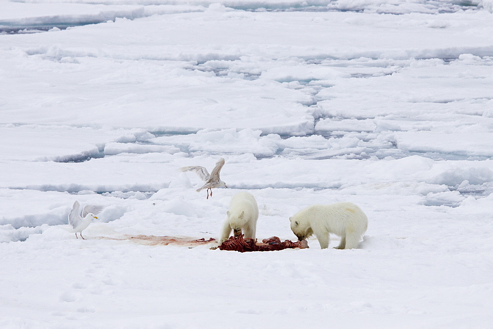 "A mother polar bear (Ursus maritimus) waits nearby while her two coy (cubs-of-year) feast on a seal carcass on fast ice in the Barents Sea off the eastern coast of Kükenthaløya Island in the Svalbard Archipelago, Norway. An adult male weighs around 400?680 kg (880?1,500 lb) while an adult female is about half that size. The IUCN now lists global warming as the most significant threat to the polar bear, primarily because the melting of its sea ice habitat reduces its ability to find sufficient food. The IUCN states, ""If climatic trends continue polar bears may become extirpated from most of their range within 100 years."" On May 14, 2008, the United States Department of the Interior listed the polar bear as a threatened species under the Endangered Species Act."