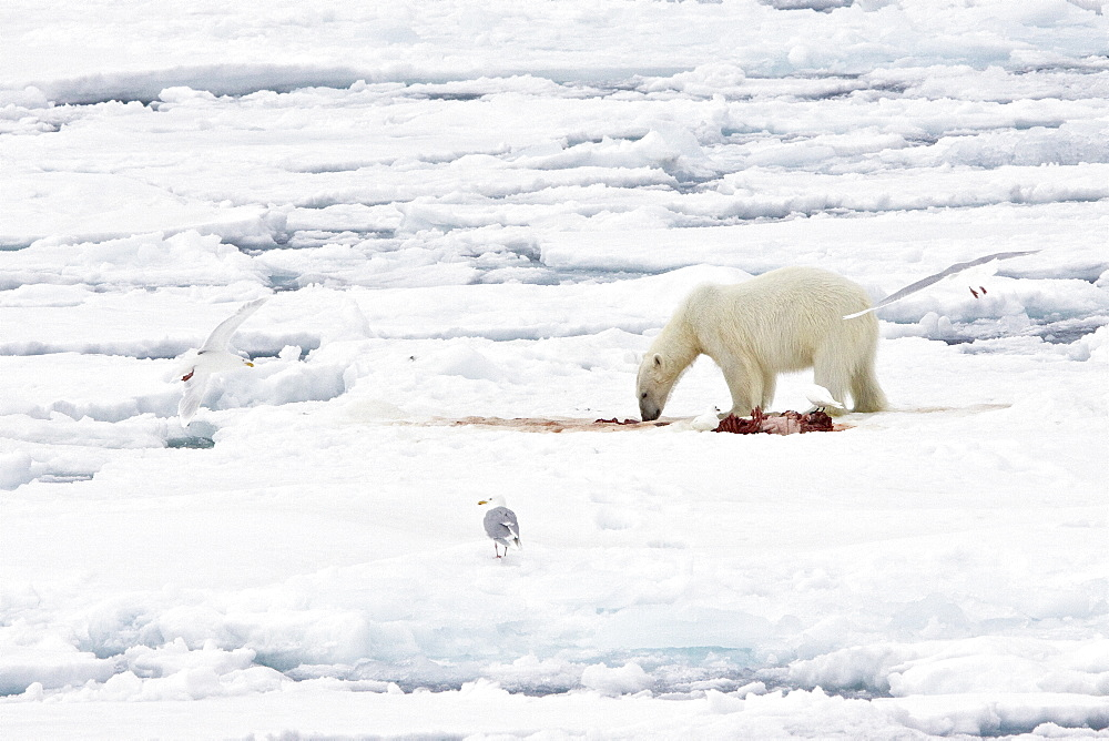 "A young polar bear (Ursus maritimus) feeds on a seal carcass recently vacated by a mother and her two coy (cubs-of-year) on fast ice in the Barents Sea off the eastern coast of Kükenthaløya Island in the Svalbard Archipelago, Norway. An adult male weighs around 400?680 kg (880?1,500 lb) while an adult female is about half that size. The IUCN now lists global warming as the most significant threat to the polar bear, primarily because the melting of its sea ice habitat reduces its ability to find sufficient food. The IUCN states, ""If climatic trends continue polar bears may become extirpated from most of their range within 100 years."" On May 14, 2008, the United States Department of the Interior listed the polar bear as a threatened species under the Endangered Species Act."