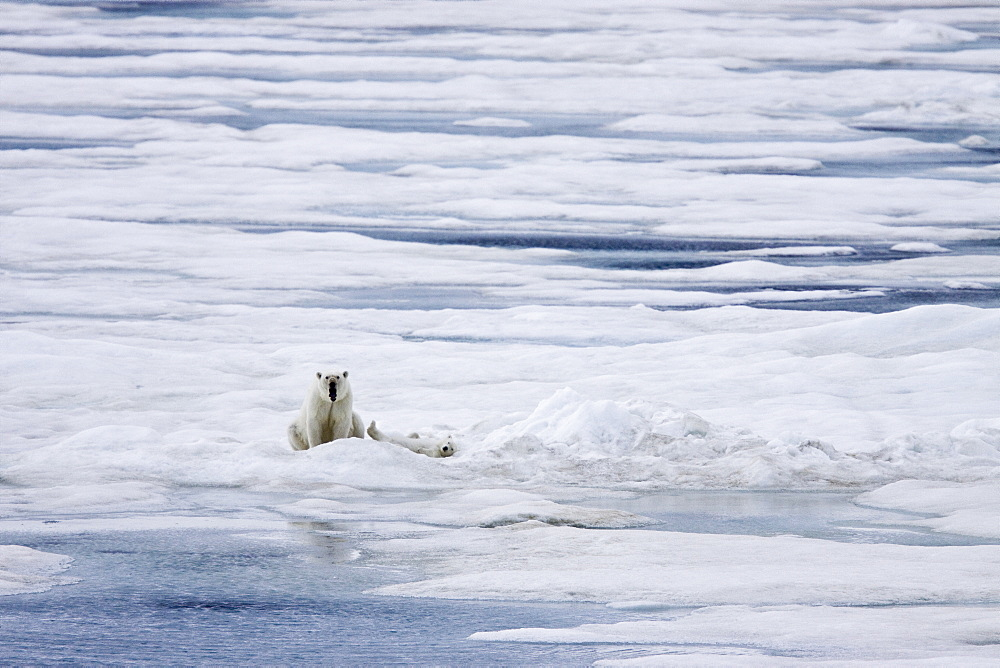 """A mother polar bear (Ursus maritimus) with a single coy (cub-of-year) on first year ice floes in the Barents Sea off the eastern coast of Bˆlscheˆya Island in the Svalbard Archipelago, Norway. An adult male weighs around 400?680 kg (880?1,500 lb) while an adult female is about half that size. The IUCN now lists global warming as the most significant threat to the polar bear, primarily because the melting of its sea ice habitat reduces its ability to find sufficient food. The IUCN states, """"If climatic trends continue polar bears may become extirpated from most of their range within 100 years."""" On May 14, 2008, the United States Department of the Interior listed the polar bear as a threatened species under the Endangered Species Act."""