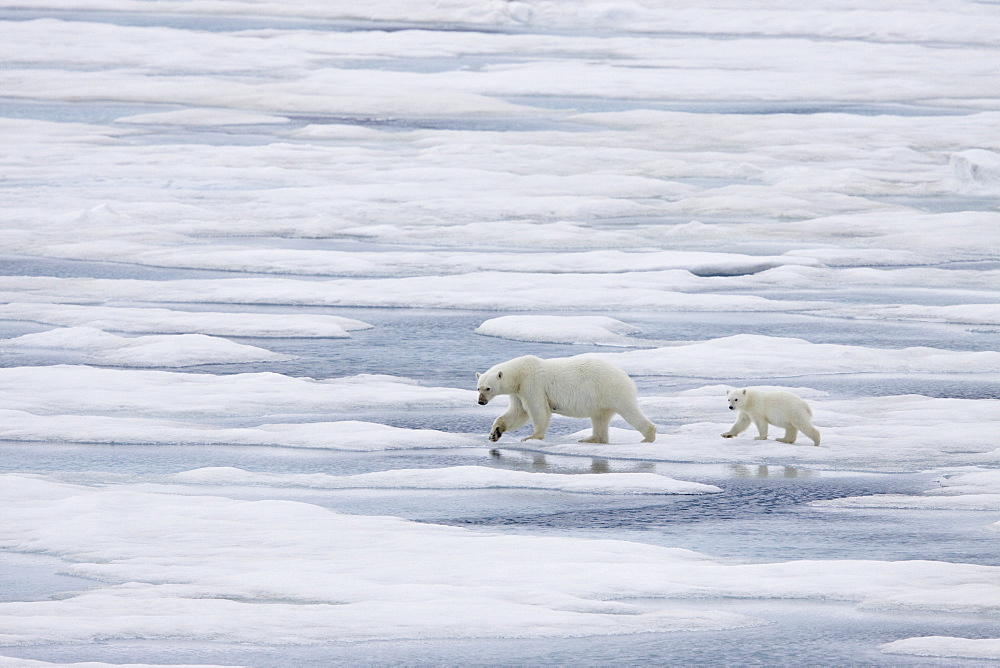 """A mother polar bear (Ursus maritimus) with a single coy (cub-of-year) on first year ice floes in the Barents Sea off the eastern coast of Bölscheöya Island in the Svalbard Archipelago, Norway. An adult male weighs around 400?680 kg (880?1,500 lb) while an adult female is about half that size. The IUCN now lists global warming as the most significant threat to the polar bear, primarily because the melting of its sea ice habitat reduces its ability to find sufficient food. The IUCN states, """"If climatic trends continue polar bears may become extirpated from most of their range within 100 years."""" On May 14, 2008, the United States Department of the Interior listed the polar bear as a threatened species under the Endangered Species Act."""