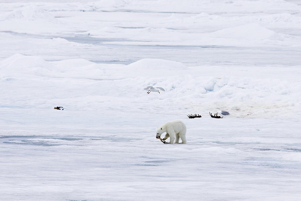 """A young polar bear (Ursus maritimus), probably recently weaned from its mother, scavenging a polar bear carcass on multi-year ice floes in the Barents Sea off the eastern coast of Edgeøya (Edge Island) in the Svalbard Archipelago, Norway. The IUCN now lists global warming as the most significant threat to the polar bear, primarily because the melting of its sea ice habitat reduces its ability to find sufficient food. The IUCN states, """"If climatic trends continue polar bears may become extirpated from most of their range within 100 years."""" On May 14, 2008, the United States Department of the Interior listed the polar bear as a threatened species under the Endangered Species Act."""
