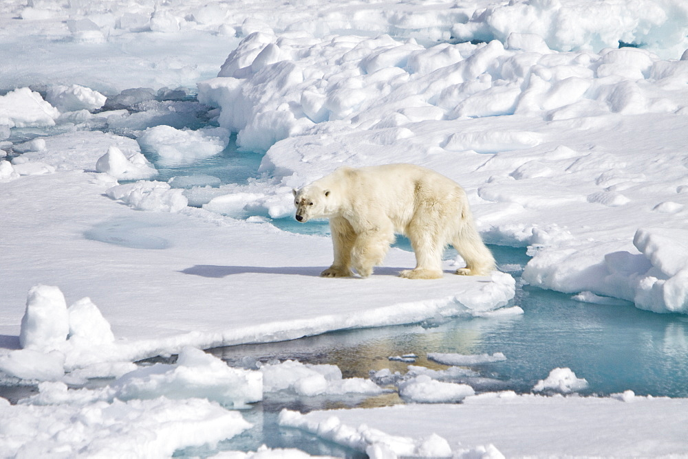 """A curious adult polar bear (Ursus maritimus) approaches the National Geographic Explorer in the Barents Sea off the eastern coast of Edgeøya (Edge Island) in the Svalbard Archipelago, Norway. The IUCN now lists global warming as the most significant threat to the polar bear, primarily because the melting of its sea ice habitat reduces its ability to find sufficient food. The IUCN states, """"If climatic trends continue polar bears may become extirpated from most of their range within 100 years."""" On May 14, 2008, the United States Department of the Interior listed the polar bear as a threatened species under the Endangered Species Act."""