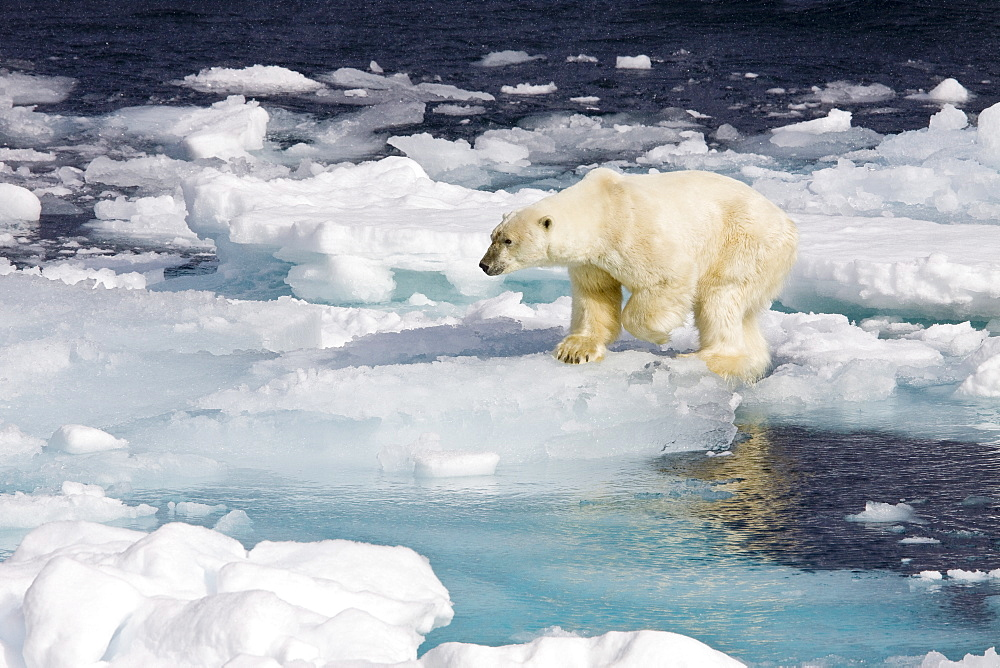 "A curious adult polar bear (Ursus maritimus) approaches the National Geographic Explorer in the Barents Sea off the eastern coast of Edgeøya (Edge Island) in the Svalbard Archipelago, Norway. The IUCN now lists global warming as the most significant threat to the polar bear, primarily because the melting of its sea ice habitat reduces its ability to find sufficient food. The IUCN states, ""If climatic trends continue polar bears may become extirpated from most of their range within 100 years."" On May 14, 2008, the United States Department of the Interior listed the polar bear as a threatened species under the Endangered Species Act. - 979-5391"