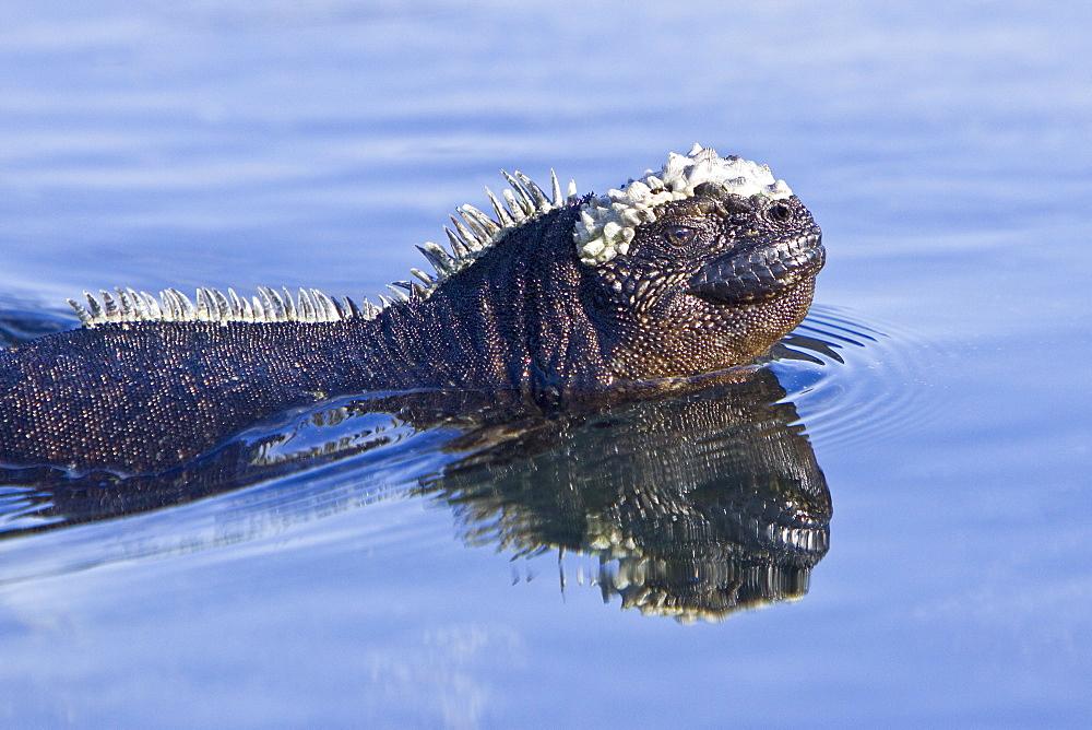 The endemic Galapagos marine iguana (Amblyrhynchus cristatus) in the Galapagos Island Archipelago, Ecuador