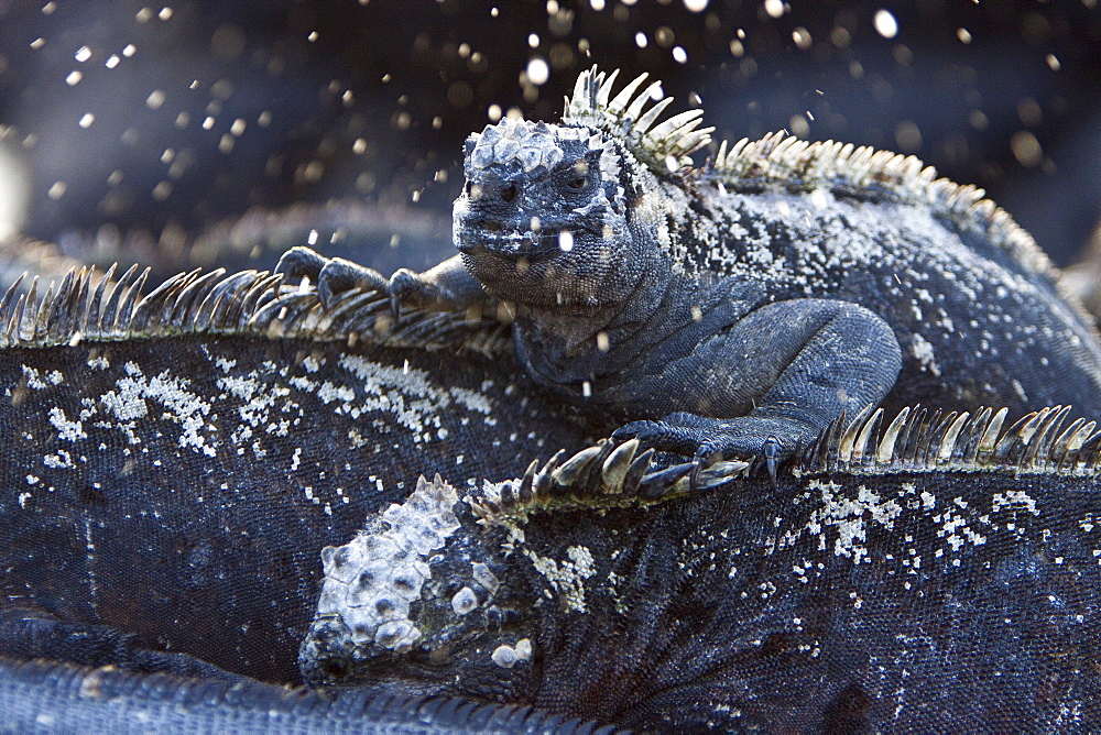 """The endemic Galapagos marine iguana (Amblyrhynchus cristatus) """"sneezing"""" salt water in the Galapagos Island Archipeligo, Ecuador. MORE INFO: This is the only marine iguana in the world, with many of the main islands having it's own subspecies. Pacific Ocean. This iguana is unique among all iguanas worldwide to feed exclusively underwater on algae."""